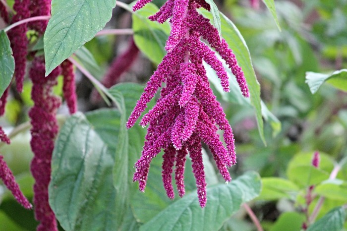 Amaranthus summer flower