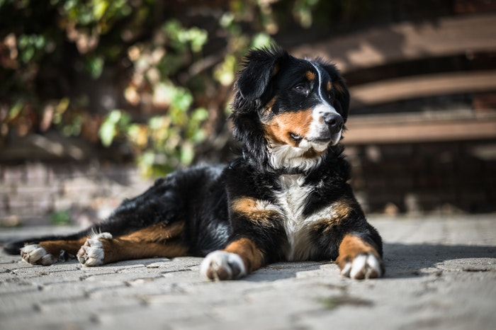 15 Dog Breeds That Hardly Ever Bark - Top Family Mag