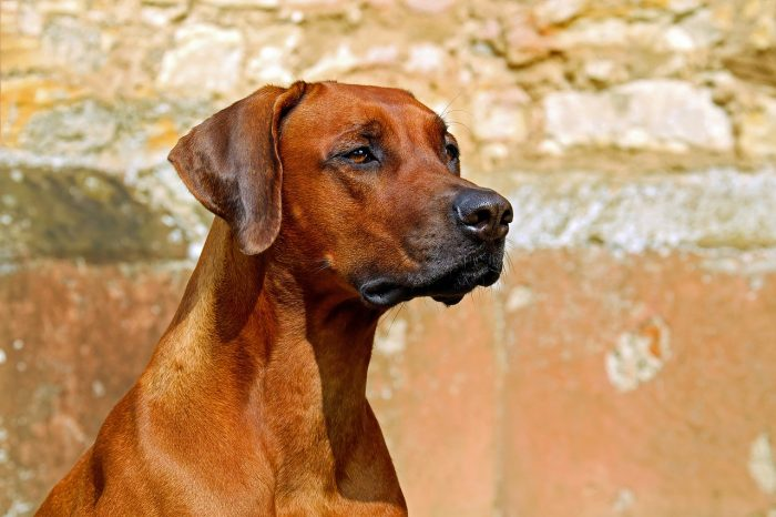 rhodesian ridgeback original dog names