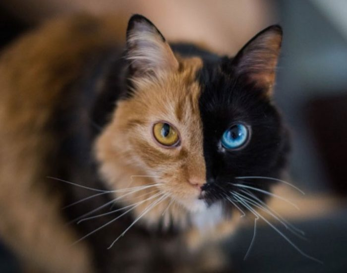 two-faced cat