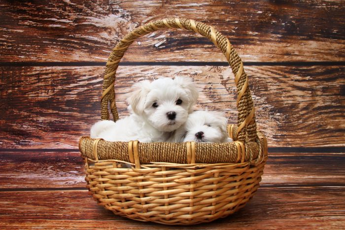 The Maltese dog breed is one of the best for small spaces.