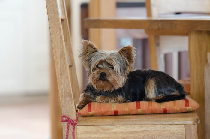 Yorkshire terriers are one of the best dog breeds to live well in small spaces., Dogs, Dog, auto insurance, car insurance, auto insurance quotes, car insurance quotes, car insurance quotes online, business insurance, car insurance companies, online auto insurance,
